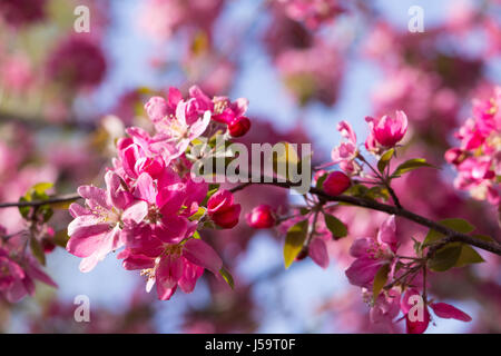 Crab apple branch with multiple pink and fuchsia blossoms and buds with out of focus flowers in back. Photographed - Stock Photo