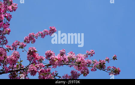Crab apple branch with multiple pink and fuchsia blossoms and buds against a deep blue, cloudless sky. Photographed - Stock Photo