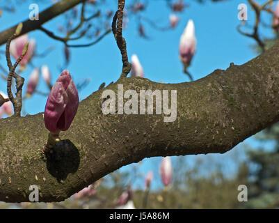 blue trunk blank european caucasian buds azure magnolia fuzziness firmament sky - Stock Photo