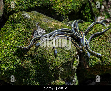 Red-sided Garter snakes emerging from wintering den, Narcisse, Manitoba, Canada. - Stock Photo
