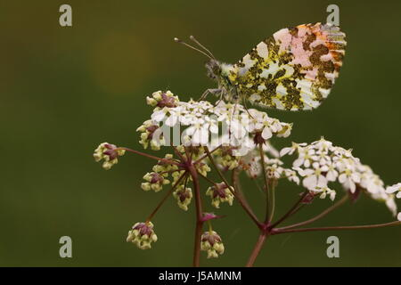 Male Orange-tip Butterfly (resting on Cow Parsley) - Stock Photo