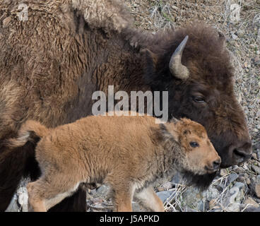 Close up of bison cow and calf walking side by side with heads together in Yellowstone National Park. A rocky hillside - Stock Photo