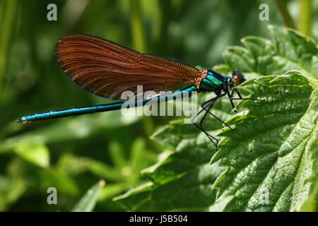 Immature Male Beautiful Demoiselle Damselfly - Stock Photo