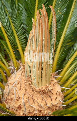 Closeup of a cycad or sago palm heart with baby leaves - Stock Photo