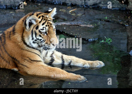 a young siberian tiger on cooling in the water.  - Stock Photo