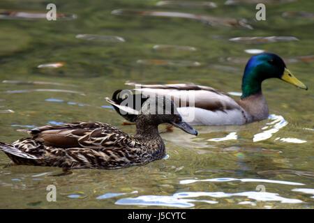 Pair of mallards (Anas platyrhynchos) swimming together on lake - Stock Photo