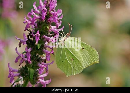 butterfly male albino lemon yellow gonepteryx rhamni zitronenfalter auf stachys - Stock Photo