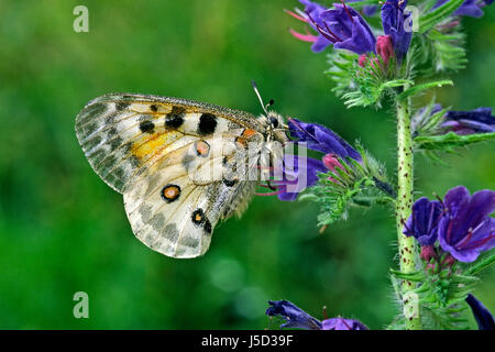 blue protected sheltered butterfly conservation of nature blank european - Stock Photo