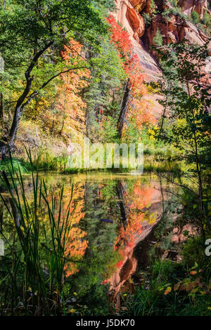 Bigtooth maples reflect on a quiet stretch of the West Fork of Oak Creek near Sedona, Arizona. - Stock Photo