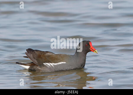 common moorhen (Gallinula chloropus) adult swimming on water, Cley, Norfolk, England, UK - Stock Photo