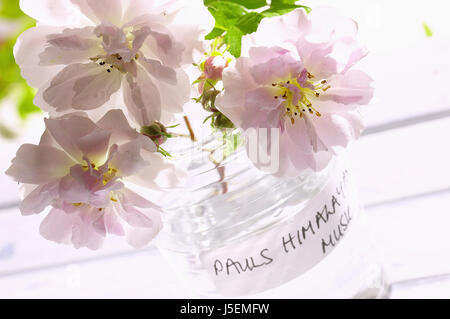 Rose, Rosa 'Paul's Himalayan Musk', Three pink cut flowers in glass jar. - Stock Photo