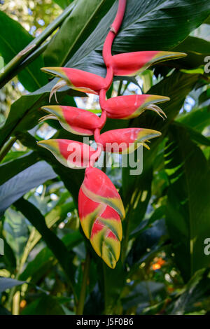 Heliconia rostrata (also known as Hanging Lobster Claw, False Bird of Paradise and Parrot flower), Kerala, South - Stock Photo