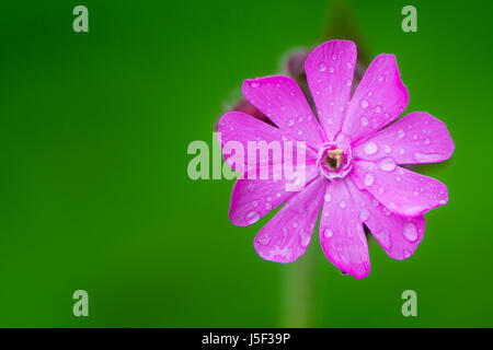 Red campion (Silene dioica) single flower. A delicate flower in the family Caryophyllaceae, with water droplets - Stock Photo