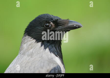 hooded crow - Stock Photo