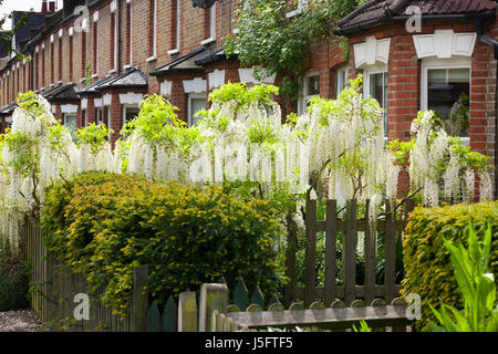 White wisteria flowering / in bloom on a suburban Victorian or Edwardian house garden wall. (87) - Stock Photo