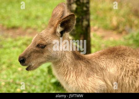animal mammal australia kangaroo opossum wallaby knguru-rotnackenwallaby - Stock Photo