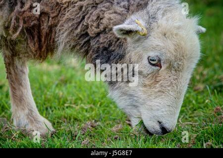 A close up portrait of a sharply rendered Herdwick ewe browsing on a green grass field. The sheep are respected - Stock Photo