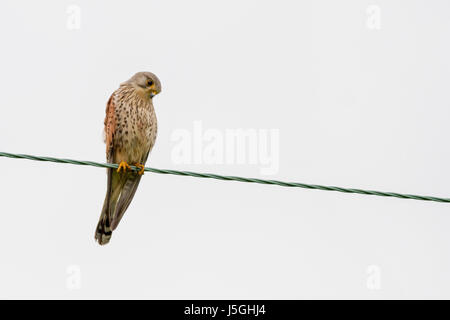 Wildlife UK: Male kestrel (Falco tinnunculus) isolated on a wire with bloody hints of his last catch whilst looking - Stock Photo