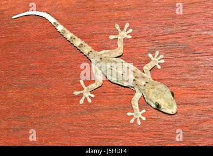 animal reptile lizard reptiles wood wall wall westkanareneidechse - Stock Photo