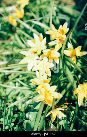 Many wild yellow small tulips growing in ukrainian park in Kyivspringtime - Stock Photo