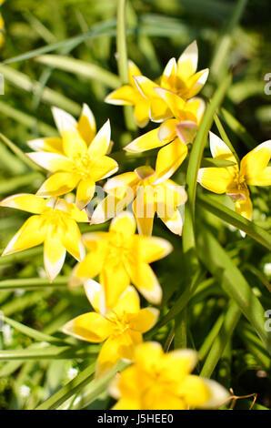Many wild yellow small tulips growing in ukrainian park in Kyivspringtime - Stock Photo