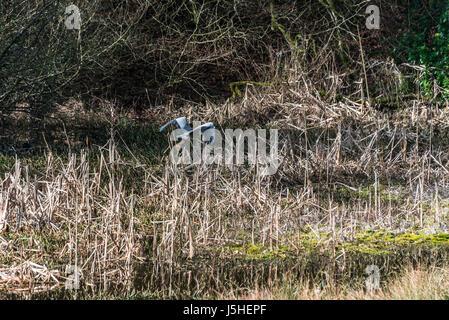 A grey heron (Ardea cinerea) taking flight - Stock Photo