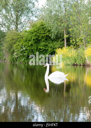 gorgeous shots of a single swan on a lake close up reflected resting and being serene and powerful on a summer's - Stock Photo