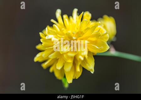 A close up of the cultivated Kerria japonica 'Pleniflora' - Stock Photo