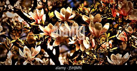 magnoliabaum - Stock Photo