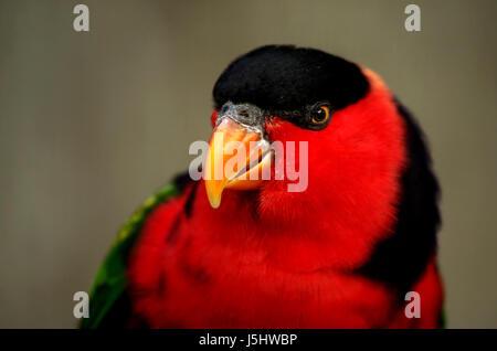 bird black swarthy jetblack deep black birds parrots red frauenlori lori - Stock Photo