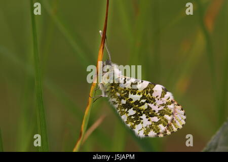 Male Orange-tip Butterfly (resting in long grass) - Stock Photo