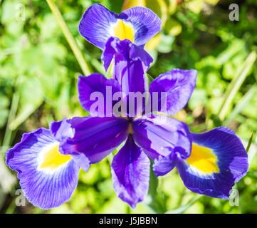 Fully open Iris latifolia in May. Isle of man - Stock Photo