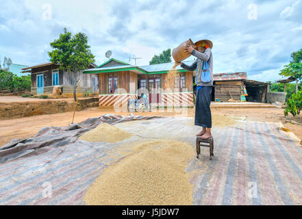 Farmers ripping rice through the winds of nature to feed their families. This daily manual work that people have - Stock Photo