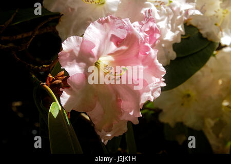 Closeup of a pink and white Rhododendron in full bloom growing on a shrub in the spring sunshine. - Stock Photo
