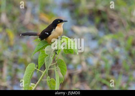 Black-capped Donacobius (Donacobius atricapilla) in vegetation, Pantanal, Mato Grosso State, Brazil - Stock Photo