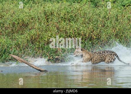 Male Jaguar (Panthera onca) running and chasing, Cuiaba river, Pantanal, Mato Grosso, Brazil - Stock Photo