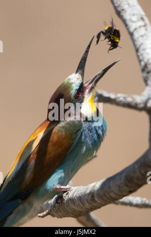 European Bee-eater (Meriops apiaster) bringing food to nesting chicks. - Stock Photo