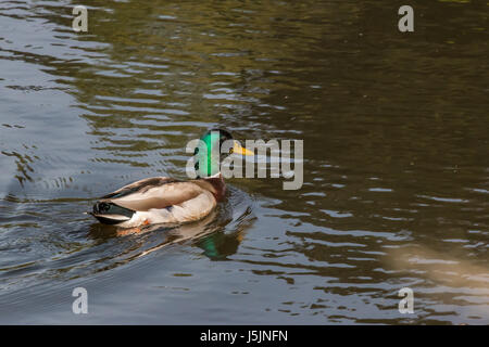 white duck swimming right to left england uk Stock Photo: 39524217 ...