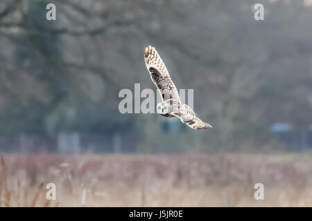 Short-eared Owl (Asio flammeus)  hunting banking flying over meadow - Stock Photo