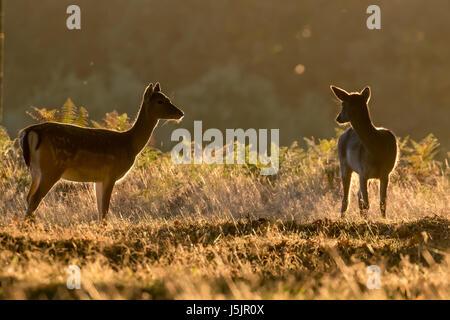 Two female Fallow deer (Dama dama) back lit or rim lit at sunrise - Stock Photo