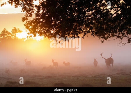 Silhouette of Red Deer rut (Cervus elaphus)  stag gathering or herding his hareem of hinds or females during the - Stock Photo