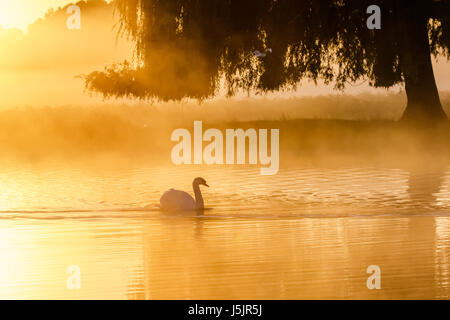 Silhouette of a single Mute Swan (Cygnus olor) on a calm peaceful misty foggy lake in golden light sunrise - Stock Photo