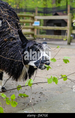 Lama pacos known as Alpaca (Vicugna pacos) in Krakow Zoological Park, Poland - Stock Photo