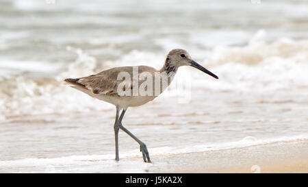Shorebird (willet) walking in the surf in Florida - Stock Photo