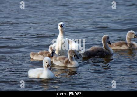 waters bird rhine swans swan birds soft stretch beak breeding offspring - Stock Photo
