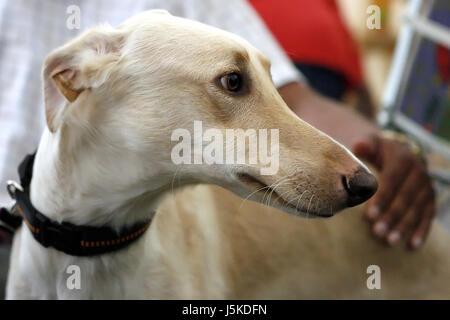 greyhound chart polski - Stock Photo