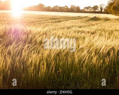 beautiful crop fields closing up in the setting sunlight over the tops of them creating a wonderful and stunning - Stock Photo