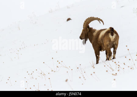 Himalayan Ibex (Capra sibirica hemalayanus) in high altitude mountains of Himalayas in Spiti Valley near Kibber - Stock Photo