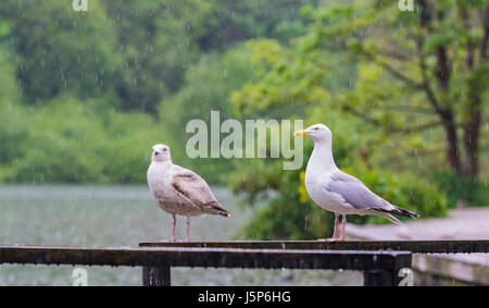 Seagulls in the rain. Pair of Herring Gulls standing by a lake in the rain. - Stock Photo