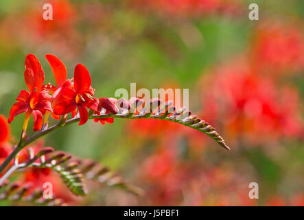 Crocosmia, Montbretia 'Lucifer', Red coloured flower growing outdoor. - Stock Photo